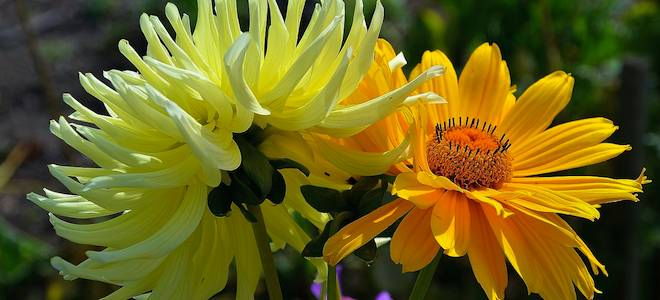 Germini Flowers